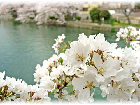 080405sakura2.jpg