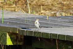 ハクセキレイ若鳥
