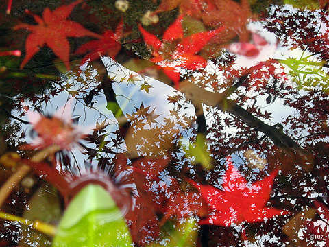 水鉢の紅葉