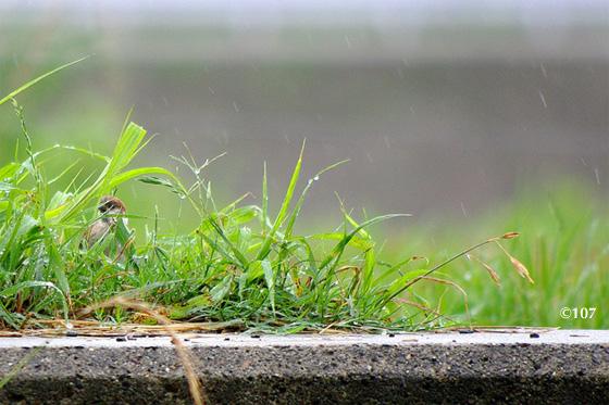 雨のスズメ